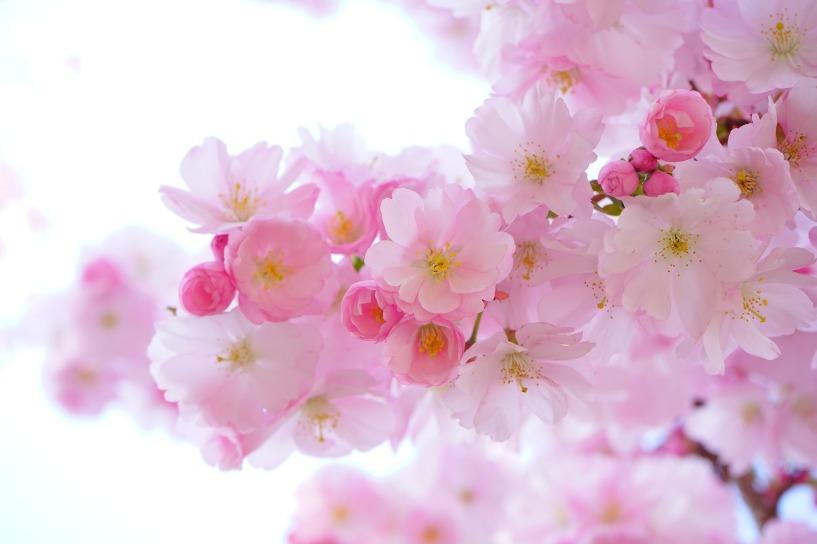 japanese-cherry-trees-324175_1920 (2)