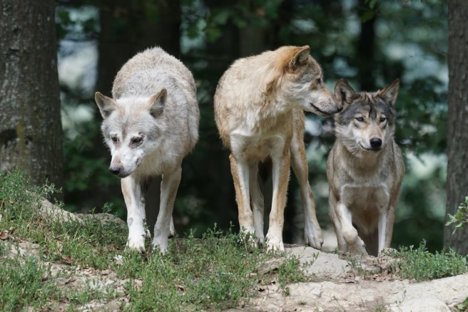 timber-wolves-907680_1920 (1)