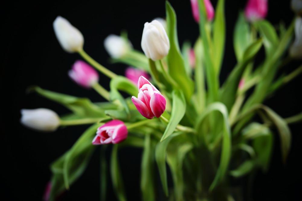 tulip-3184193_1920